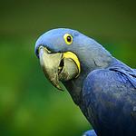 blue parrot photo
